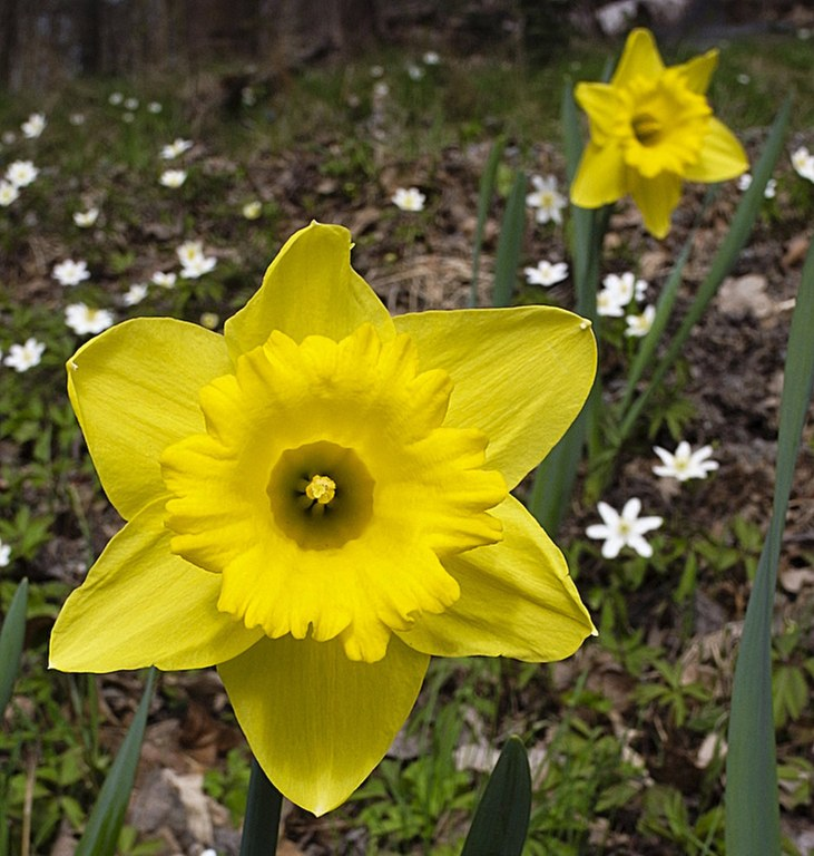 keltainen_daffodil.jpg