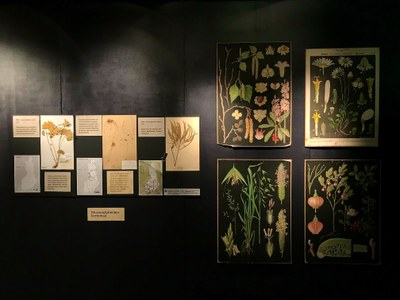 New changing exhibition: President Kekkonen also collected plants